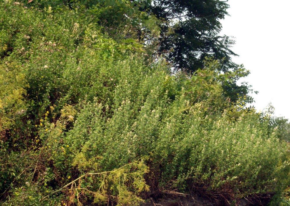 photo of catnip on hillside