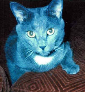 gray cat with white spot