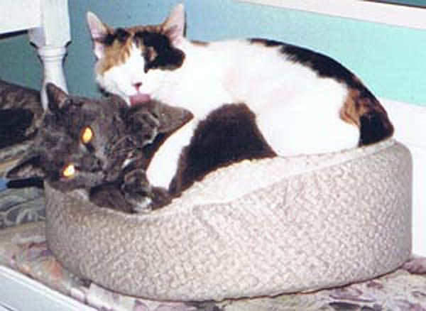 gray cat and calico cat in bed