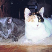 old gray cat and young calico cat