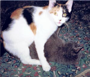 calico cat wrestling wtih gray cat