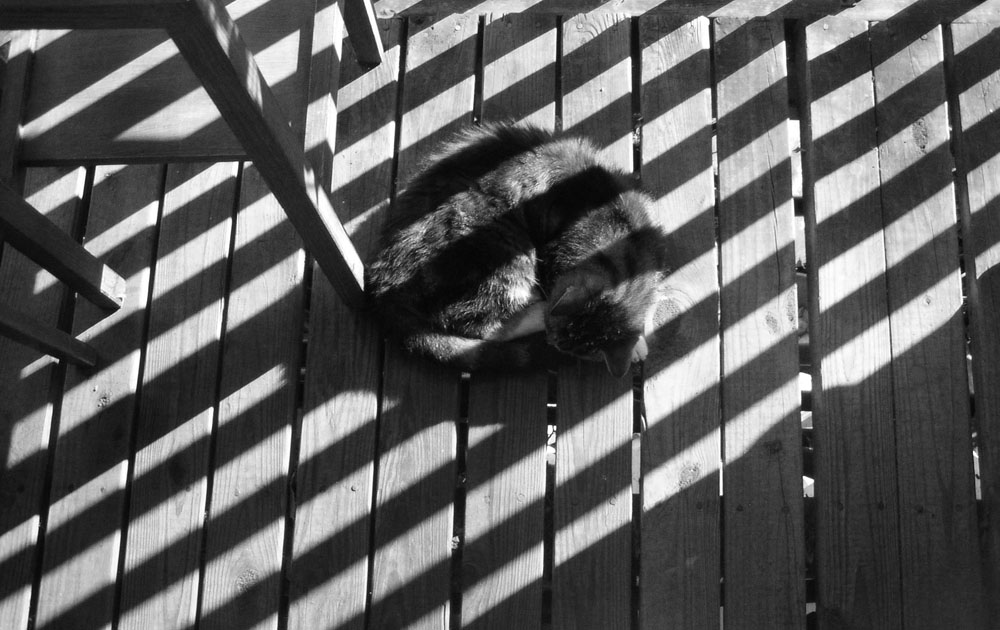 black and white photo of tabby cat curled in striped shadows
