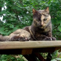 tortoiseshell cat on picnic table