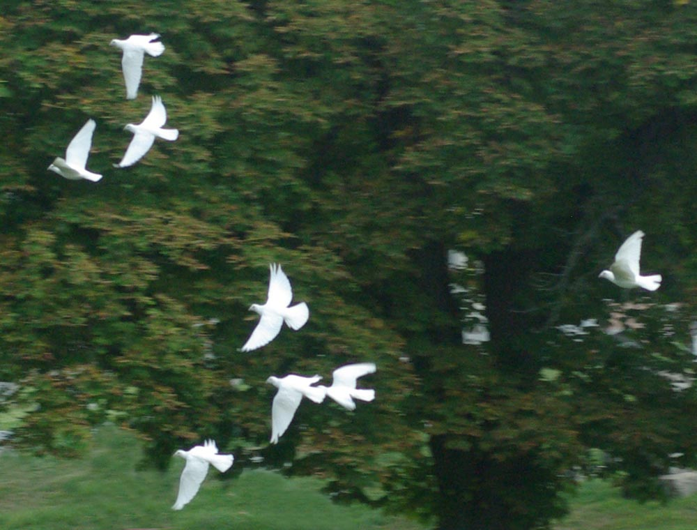 white doves