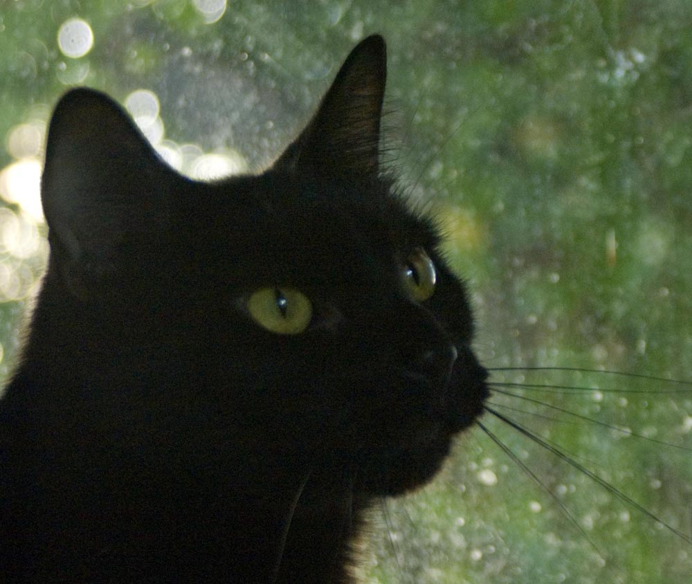 black cat looking out the window