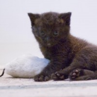 tiny black kitten with catnip toy