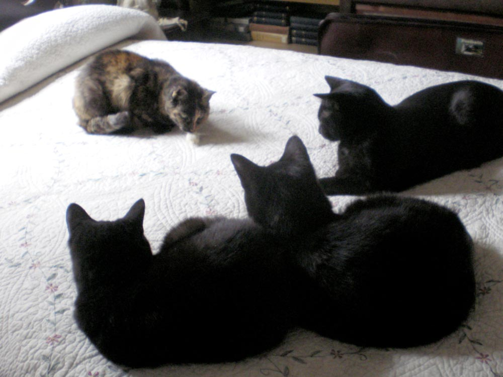 three black cats and tortoiseshell cat