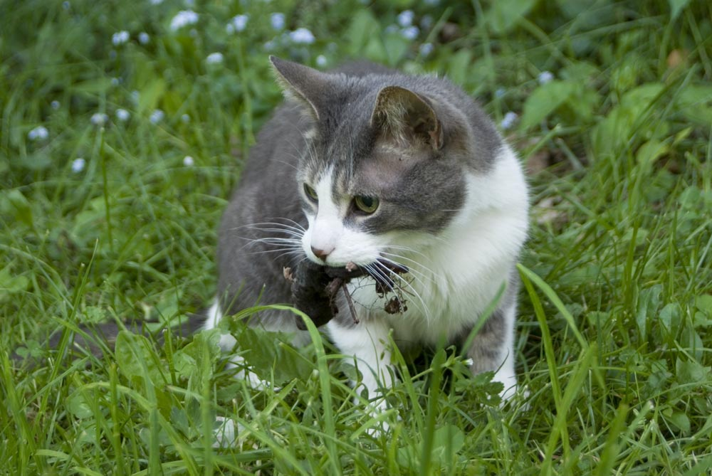 cat with vole