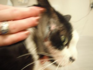 cat with injury on neck