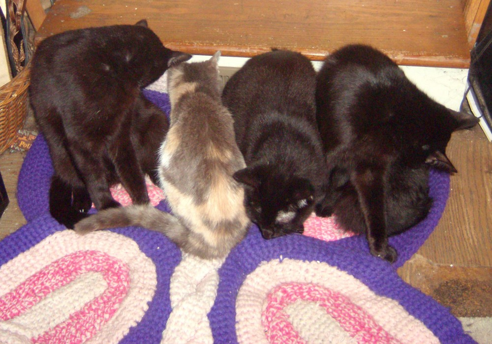 three black cats and one dilute calico