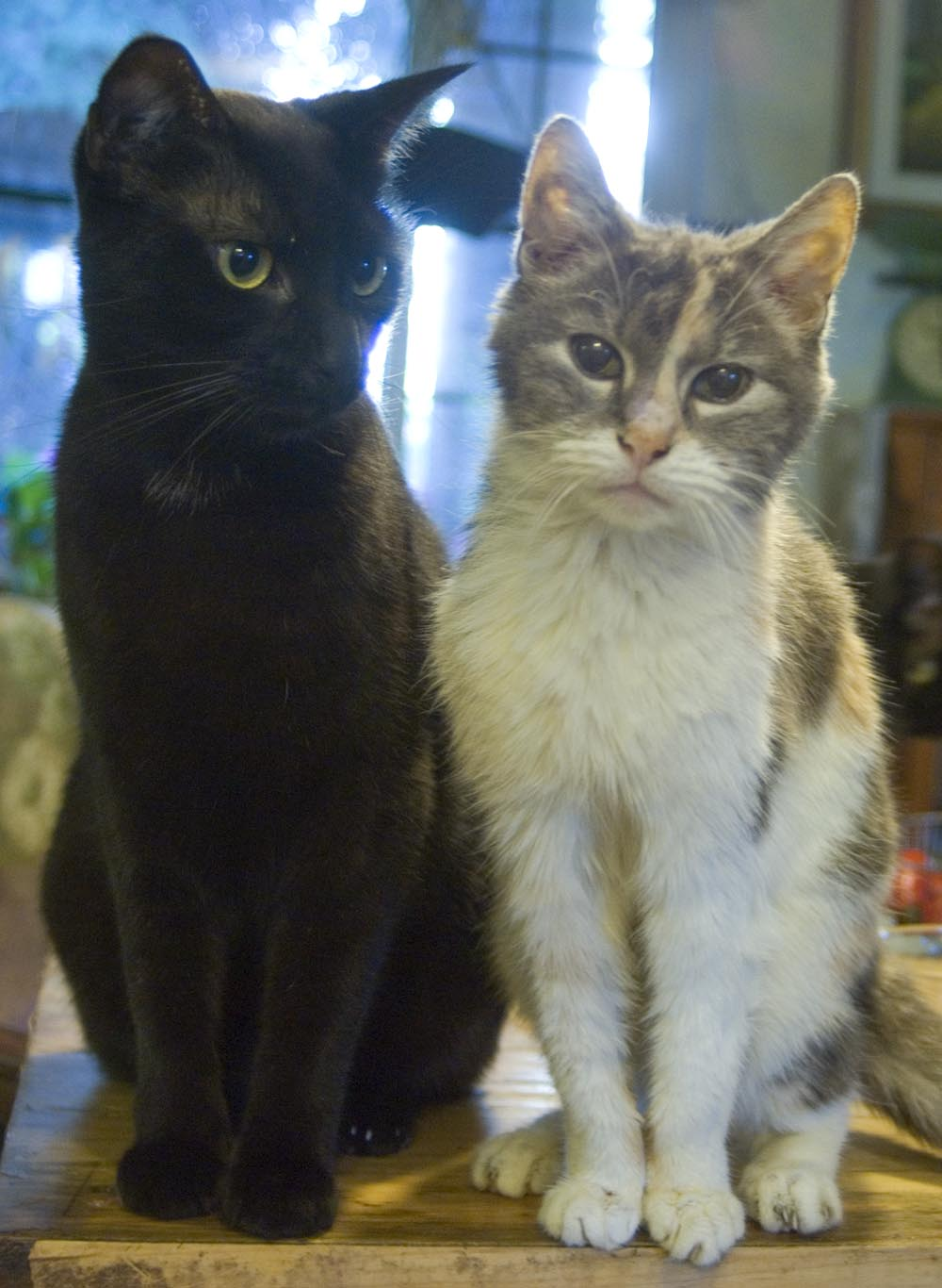black cat and dilute tortoiseshell cat