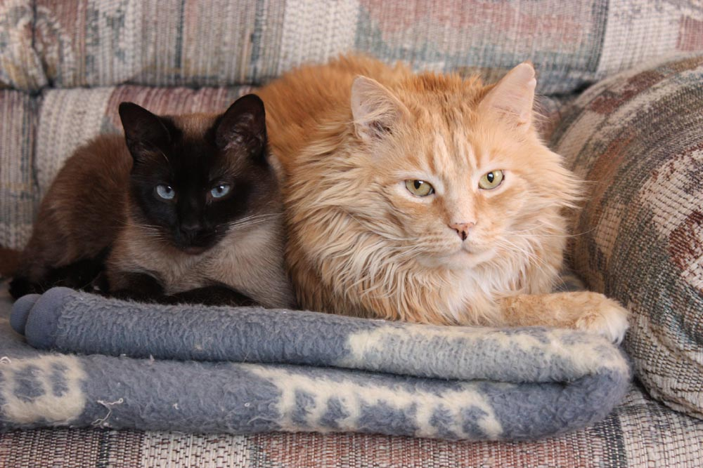 siamese and maine coone cats