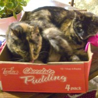 two tortoiseshell cats in box