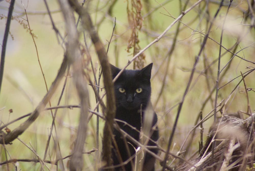 black cat in weeds