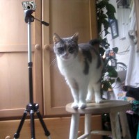 dilute tortoiseshell cat on stool