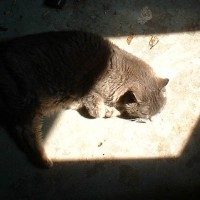 gray cat in a square of sunshine