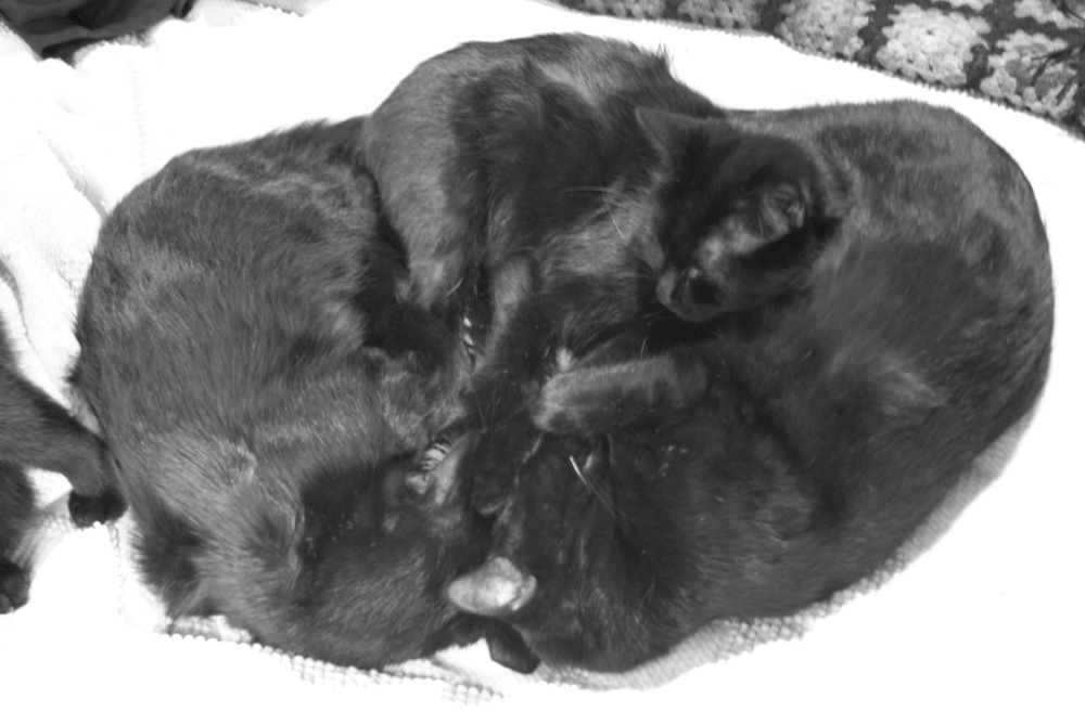 black and white photo of three black cats