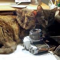 tortoiseshell cat and black kitten