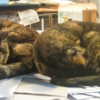 two tortoiseshell cats on desk