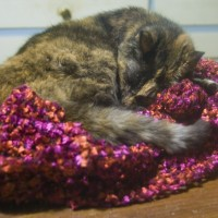 tortoiseshell cat sleeping on shawl