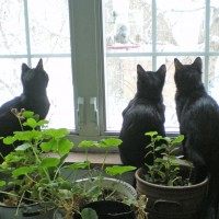 black cats at window