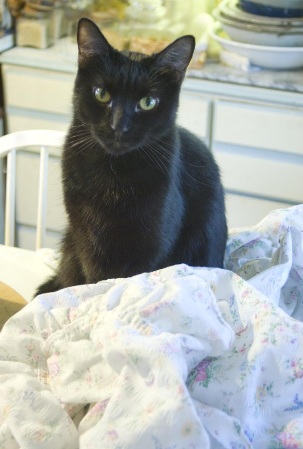 black cat with sheets