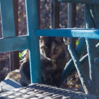 tortoiseshell cat with turquoise rocker