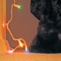 black cat with holiday lights