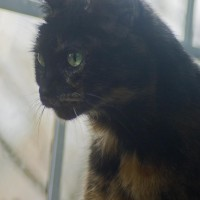 tortoiseshell cat at window