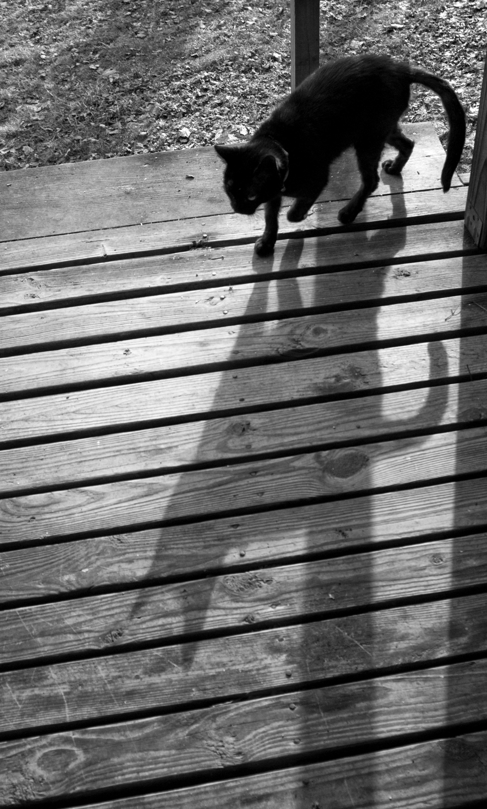 black cat with long shadow