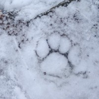 020811-IcyPawprint
