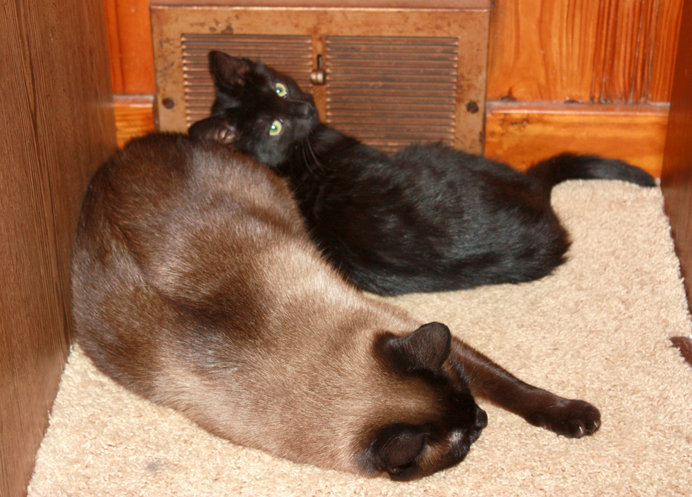 black kitten and siamese cat