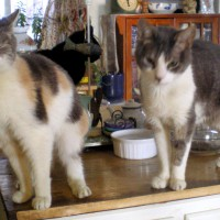 dilute tortoiseshell and gray and white cats