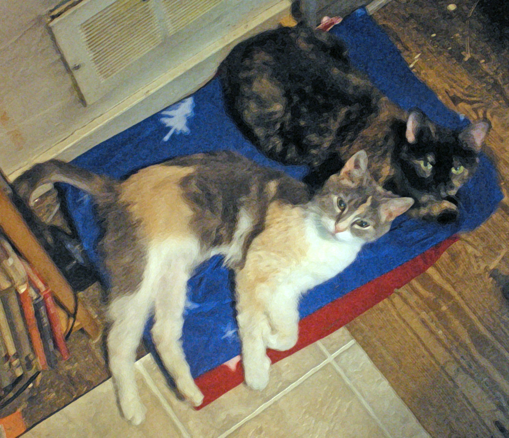 dilute calico and tortoiseshell cats