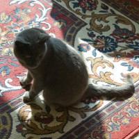 gray cat on oriental rug