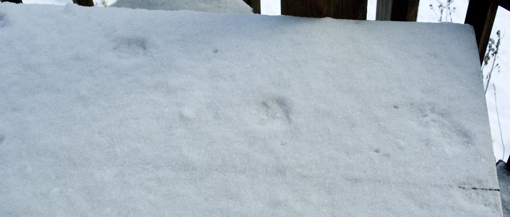 Pawprints in the snow on the table.