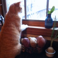 oramge cat watching birds