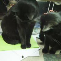two black cats with stinkbug