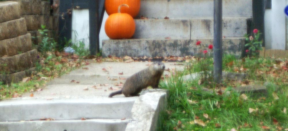 groundhog on steps to house.