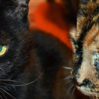 Black and tortoiseshell cats