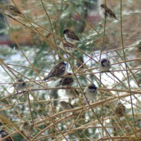 birds-SparrowsInForsythia