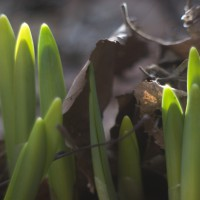 daffodils pushing through leaves