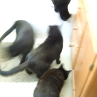 four black cats moving around