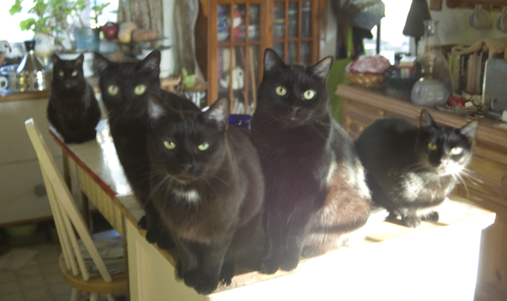 five black cats waiting for meal.