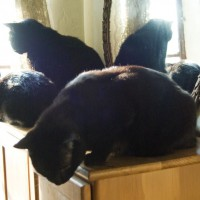 three or five black cats