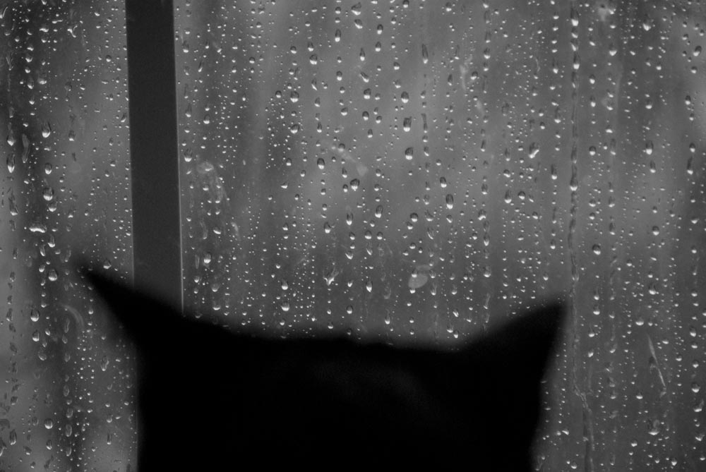 of the rain and giuseppe the creative cat black and white photo of black cat looking out rainy window