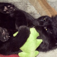 black cat with catnip toy