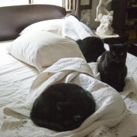 black cats on bed