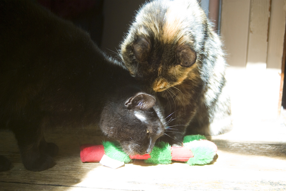 tortoiseshell cat with catnip toy