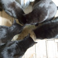 five black cats eating catnip